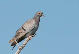 Yellow-eyed Pigeon